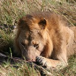Eating male lion